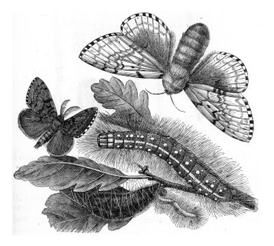 Bombyx dispar, vintage engraved illustration. From Zoology Elements from Paul Gervais
