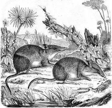 Greater bilby, vintage engraved illustration. From Zoology Elements from Paul Gervais.