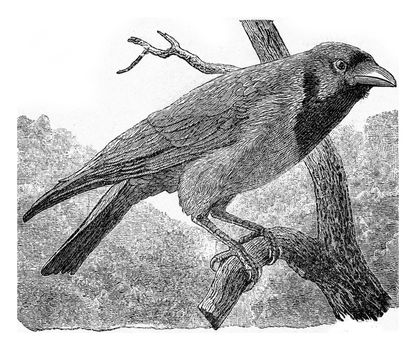The common crow, vintage engraved illustration. From Deutch Vogel Teaching in Zoology.