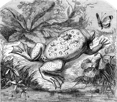 Pipa of Guyana, vintage engraved illustration. From Zoology Elements from Paul Gervais.