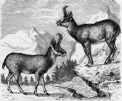 Chamois, vintage engraved illustration. From Zoology Elements from Paul Gervais.