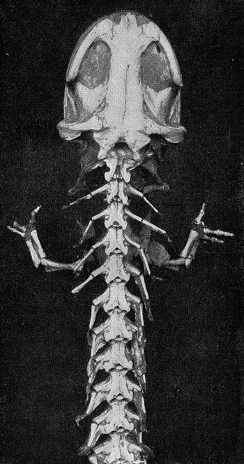Anterior part of the skeleton of a giant Japanese salamander, vi