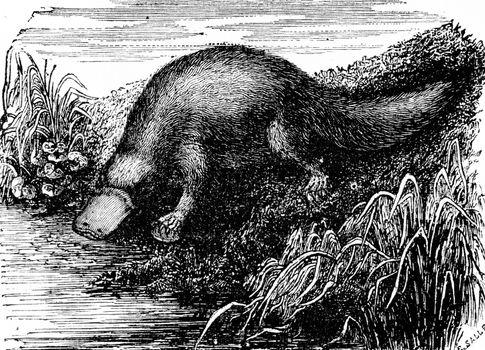 Platypus or Duck-billed platypus, vintage engraved illustration. Natural History of Animals, 1880.
