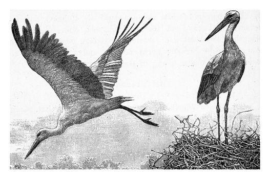 The stork, vintage engraved illustration. From Deutch Vogel Teaching in Zoology.