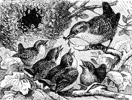 A family of wrens, vintage engraved illustration. La Vie dans la nature, 1890.