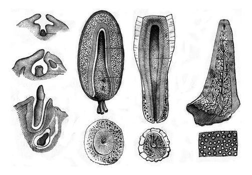 Development and structure of teeth, vintage engraved illustration. Zoology Elements from Paul Gervais.