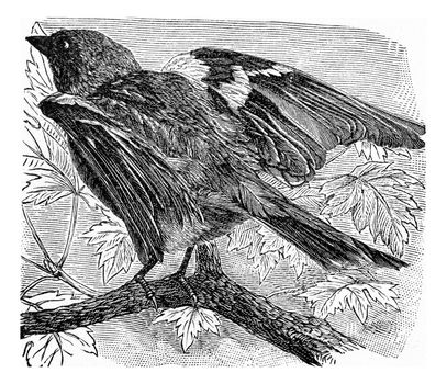 The chaffinch, vintage engraved illustration. From Deutch Vogel Teaching in Zoology.