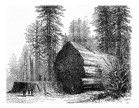 Redwood, vintage engraved illustration. La Vie dans la nature, 1890.