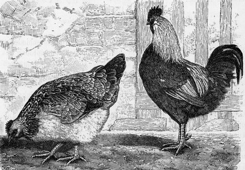 The house hen, Gallus domesticus, vintage engraved illustration. From Deutch Vogel Teaching in Zoology.