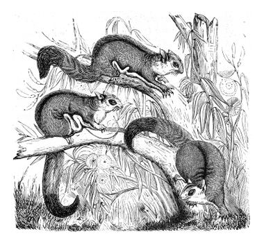 Petaurista, vintage engraved illustration. From Zoology Elements from Paul Gervais.