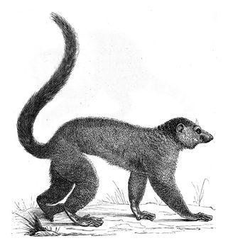 Lemur, vintage engraving