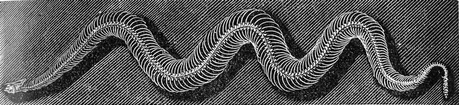 Skeleton of the grass snake, vintage engraved illustration. From Deutch Vogel Teaching in Zoology.