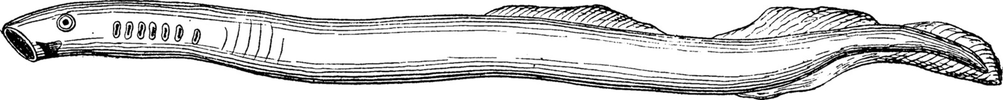 Lamprey rudimentary primitive fish, vintage engraving.