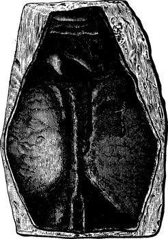 The first fish, Devonian period, Pteraspis rostratus, vintage en
