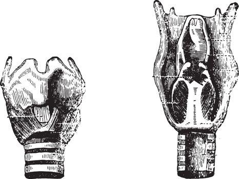 Fig 1- Front face, Fig 2- Posterior surface, vintage engraving.