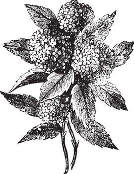 Hydrangea, vintage engraving.