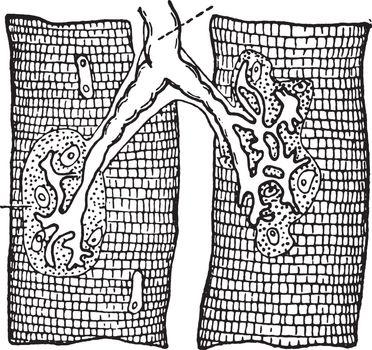 Nerve ending in muscle-fibers, vintage engraving.