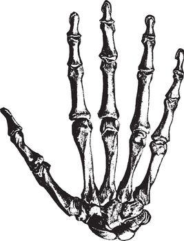 Bones of the hand, vintage engraving.