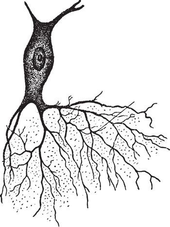 A nerve with bush like projection, vintage engraving.