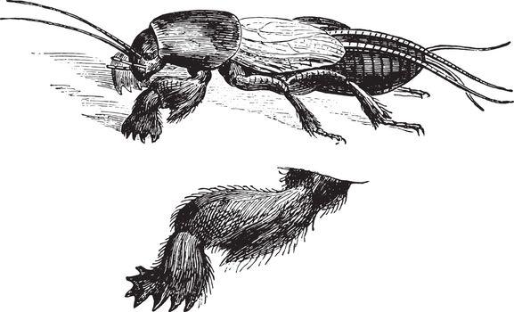 Fig 1. The town Mole cricket, Fig 2. Anterior leg three times bi