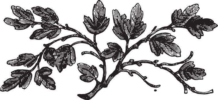 The barren fig tree, vintage engraving.