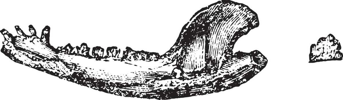 Lower jaw of didelphic, vintage engraved illustration. Magasin Pittoresque 1858.