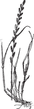 Perennial Ryegrass or Lolium perenne, vintage engraving.