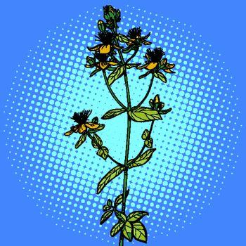 Hypericum. medicinal plant