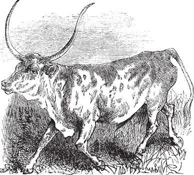 Brazilian, cow, vintage engraving.