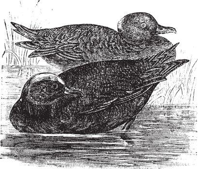 Wigeon  or Anas americana vintage engraving