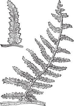 Sphenopteris, vintage engraving