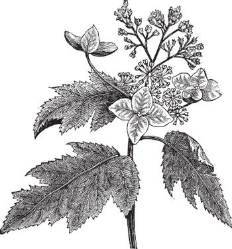 Oakleaf hydrangea or Hydrangea quercifolia vintage engraving