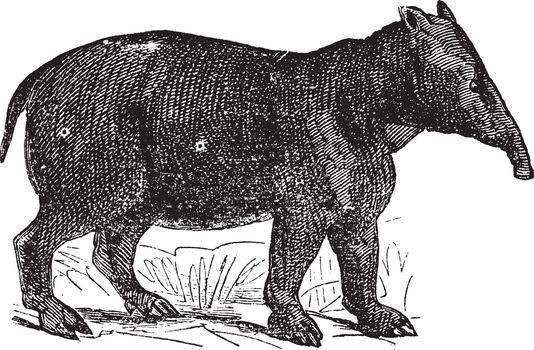 Palaeotherium, vintage engraving