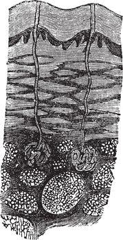 Perspiration, vintage engraving
