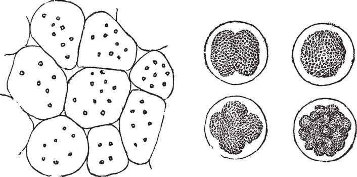 Cell Division in plants (left) and in animals (right), vintage engraved illustration. Trousset encyclopedia (1886 - 1891).