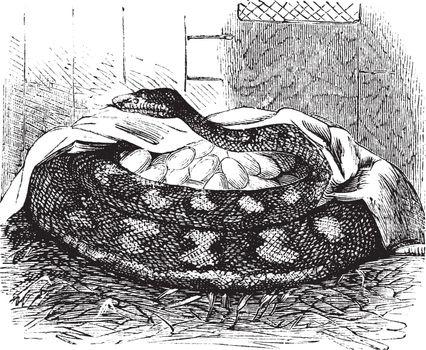 Python female incubates her eggs, vintage engraving.