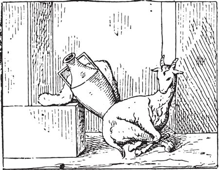 A young goat, vintage engraving.