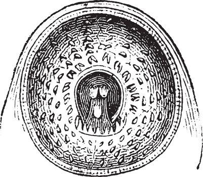 Mouth, vintage engraving.