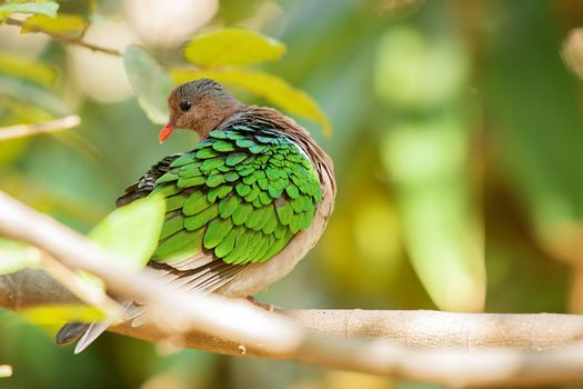 Emerald Ground Dove