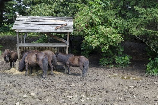 Four brown ponies feed dry grass from rack in the park after rain