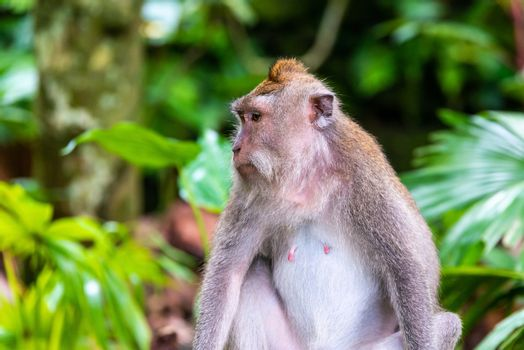 Macaque monkey at Ubud Monkey Forest in Bali, Indonesia