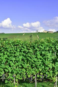 Vineyard of Barolo panorama