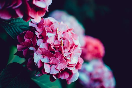 Soft pink hydrangea and green leaves over blurred background