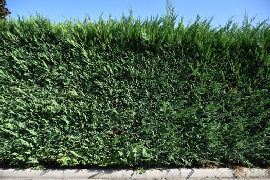 Evergreen edge