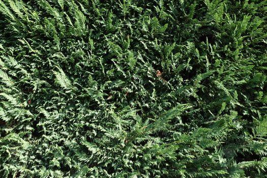 Closeup of evergreen edge