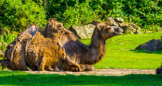 closeup portrait of a camel sitting in a pasture, animal with alopecia, popular zoo mammals