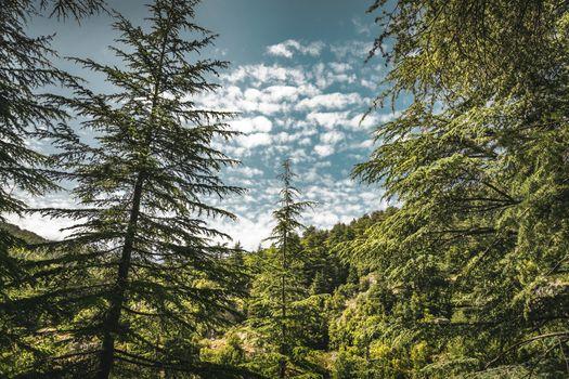 Cedars trees lands