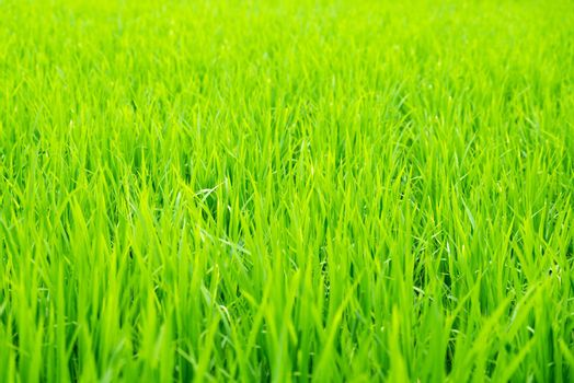 Detail of rice field, young rice growing