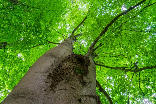 beautiful big and high tree with green leaves, summer season nature background