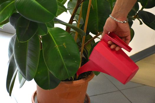 Watering a ficus